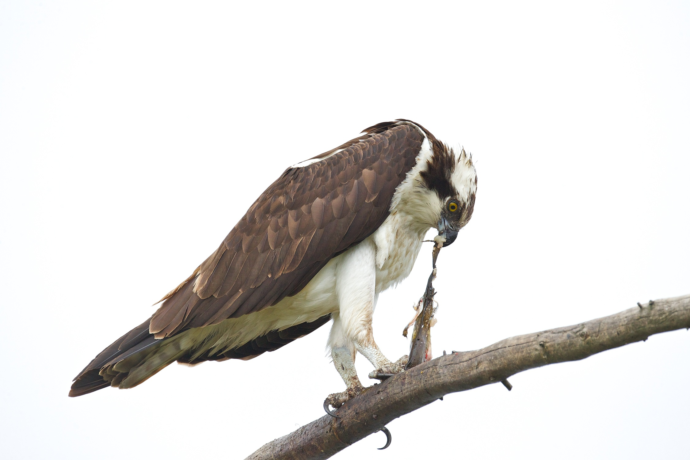 osprey eating fish 11