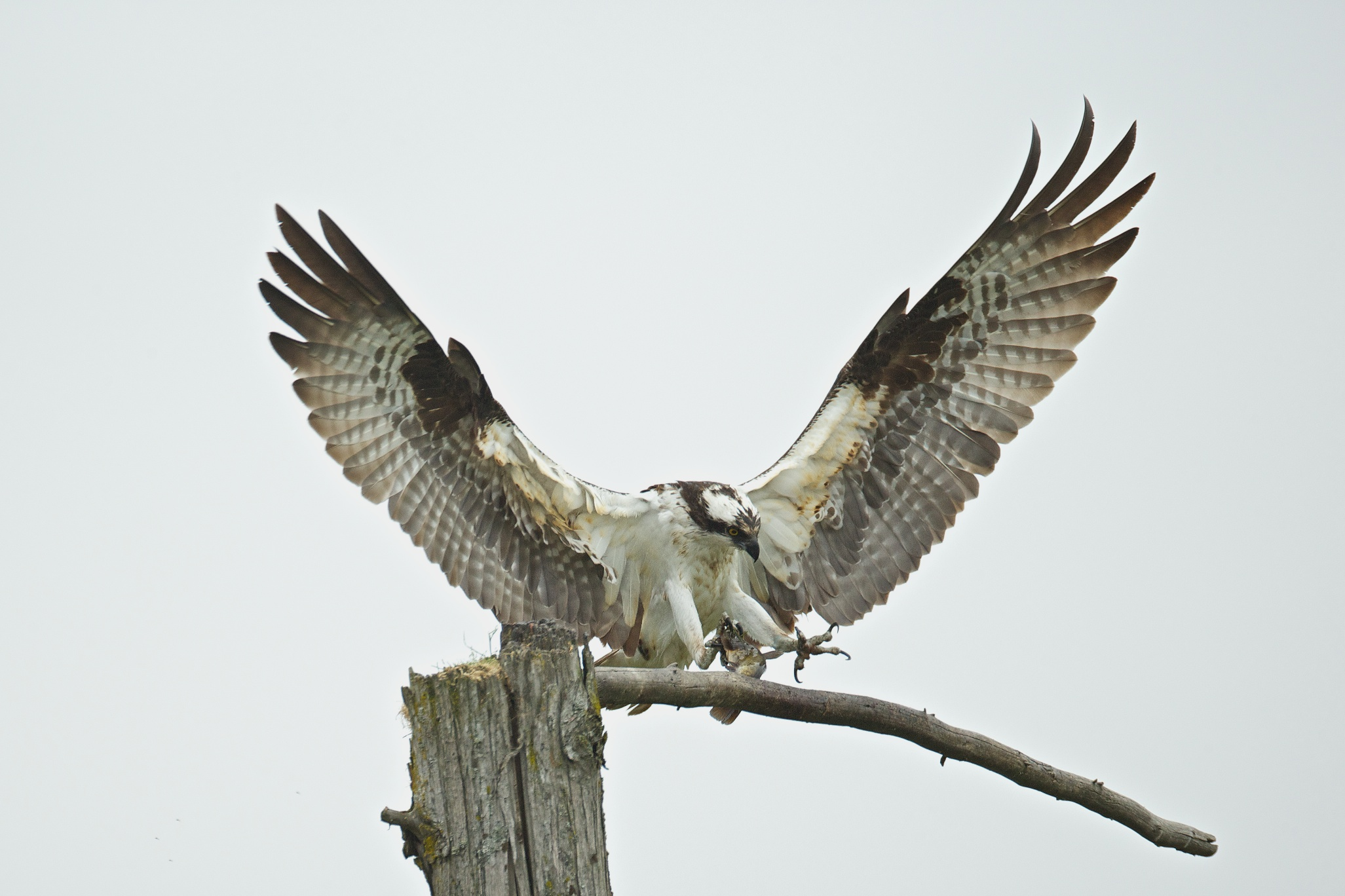 osprey eating fish 3