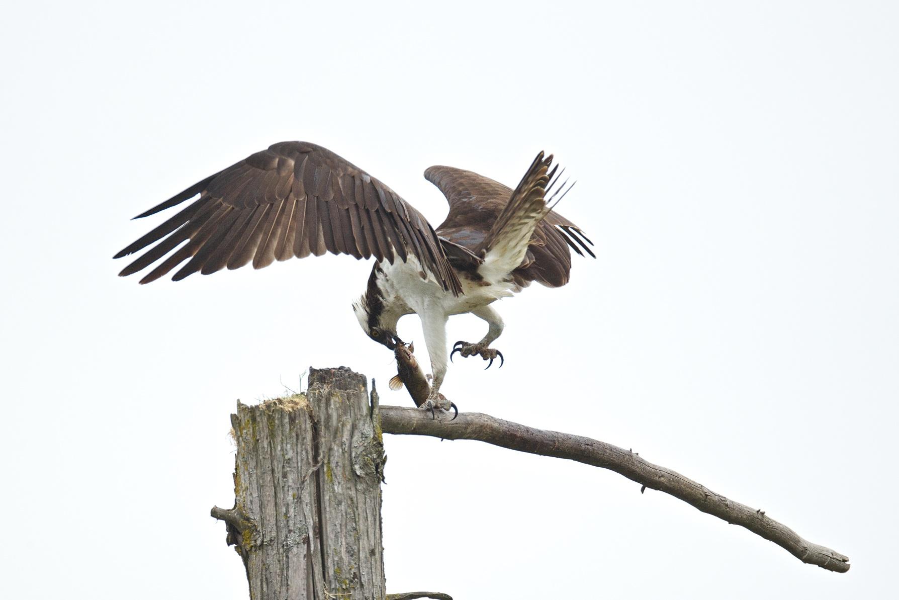 osprey eating fish 5
