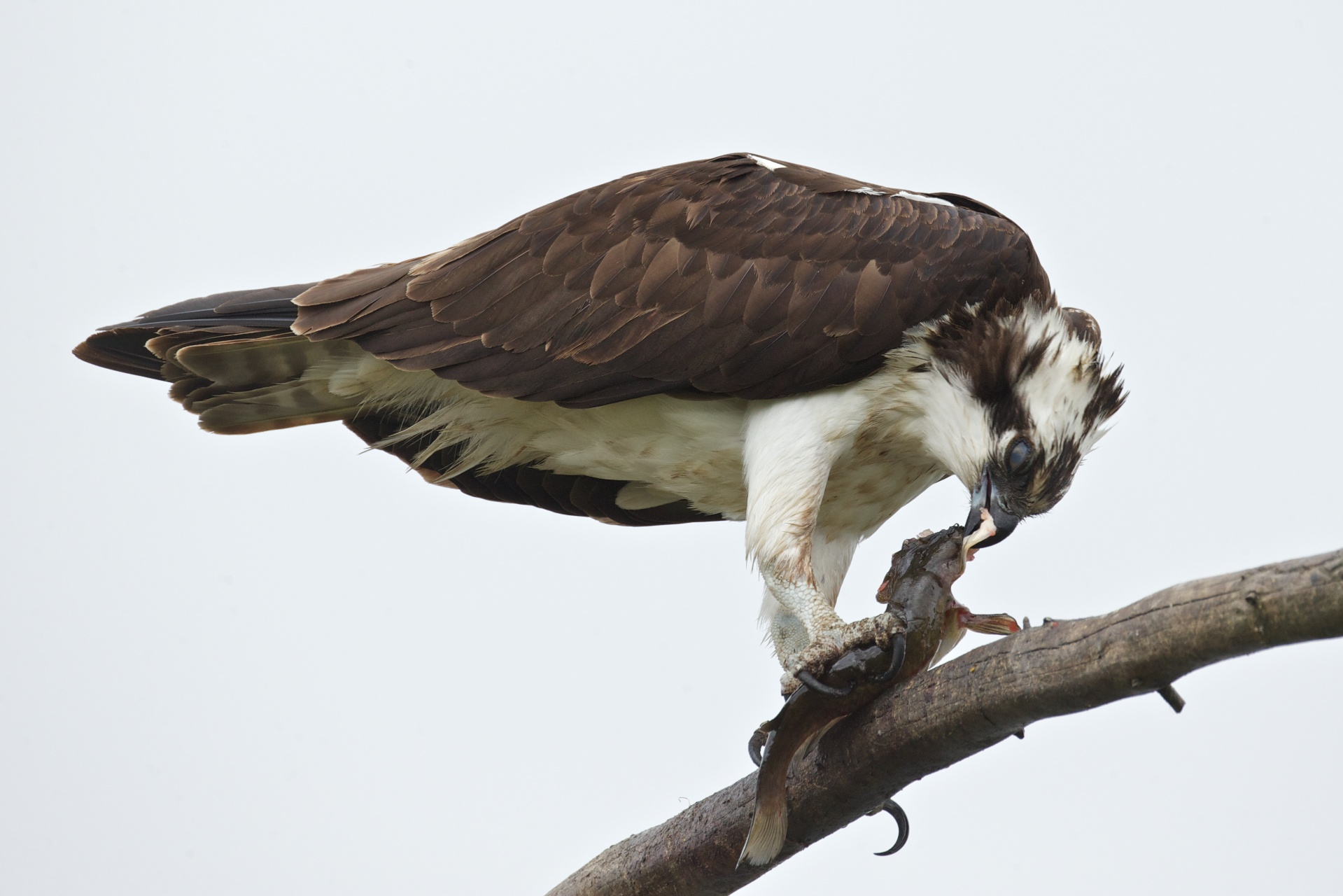 osprey eating fish 7