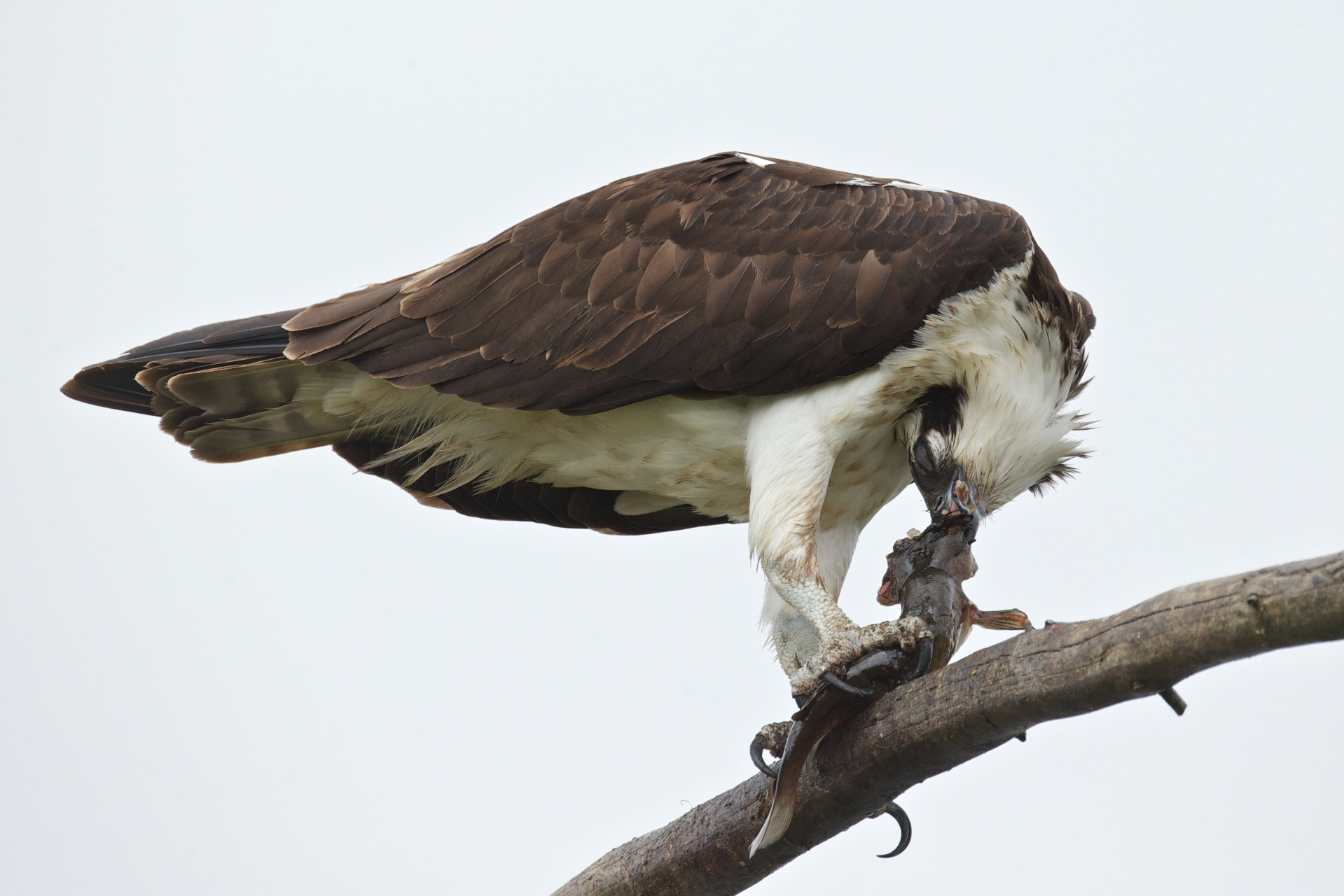 osprey eating fish 8