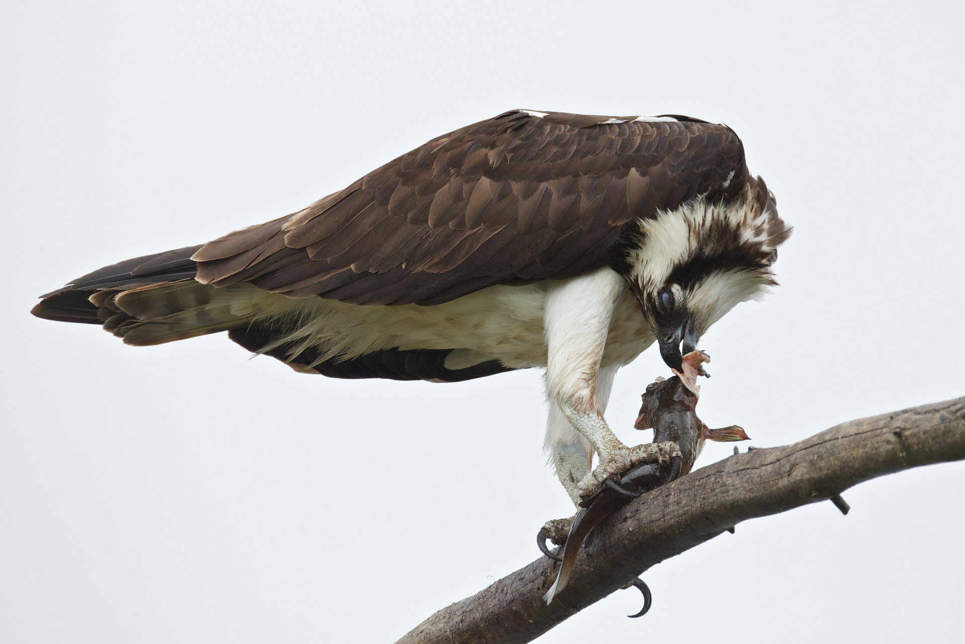 osprey eating fish 9