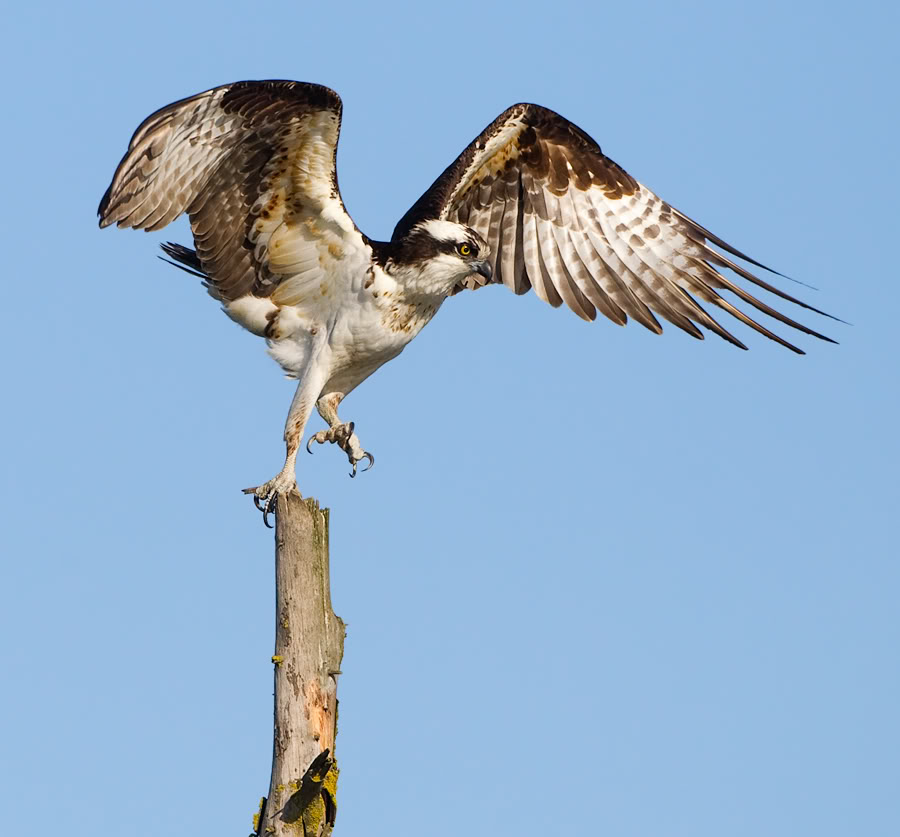 What Is A Seahawk Birdnote