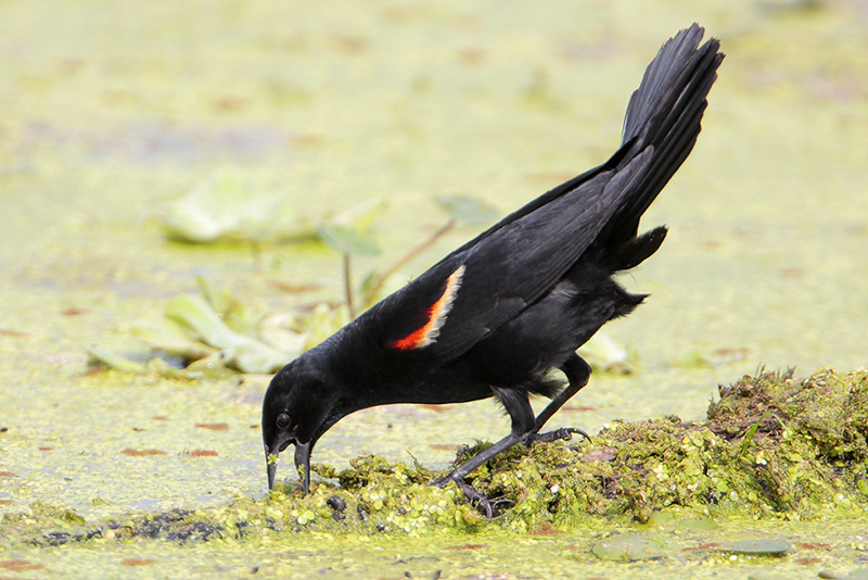 Why Are Blackbirds Black? | BirdNote
