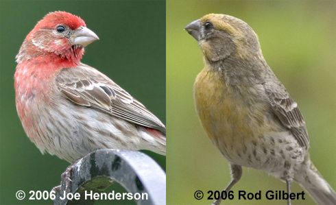 House Finches   Red And Yellow