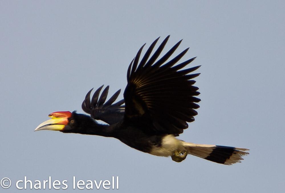 Rhinoceros Hornbill Birdnote