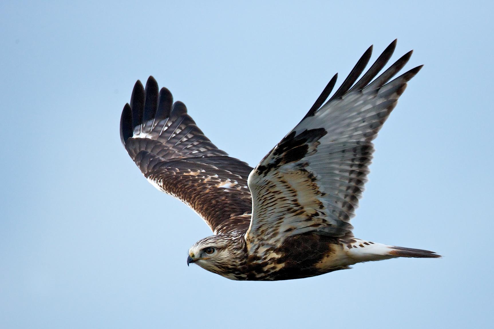 sandpiper bird flying