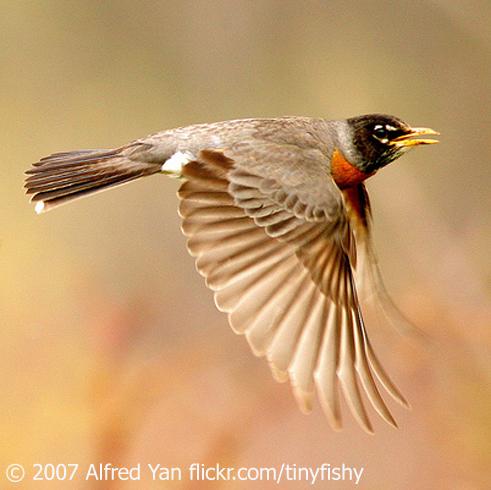 american robin bird flying - photo #19