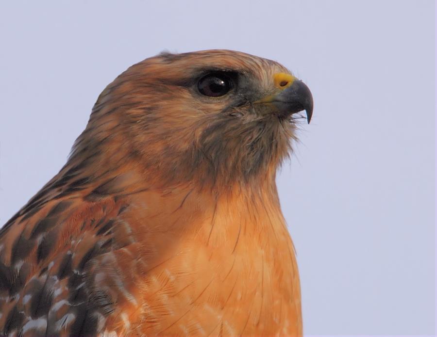 The Red Shouldered Hawk One Gorgeous Bird Of Prey Birdnote