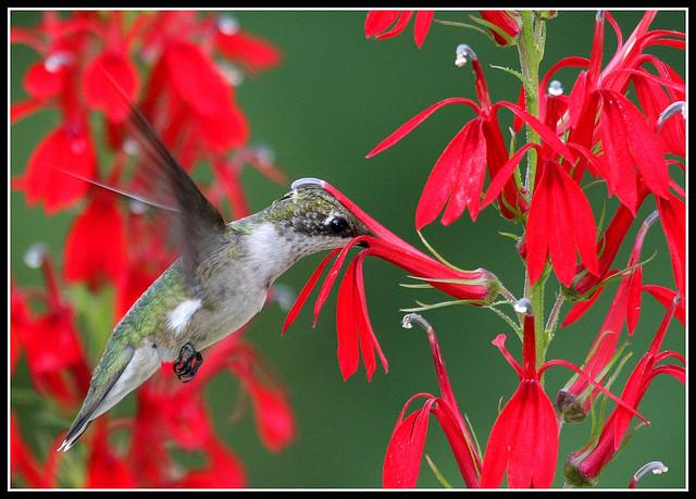Ruby-Throated Hummingbird Birdnote-6509