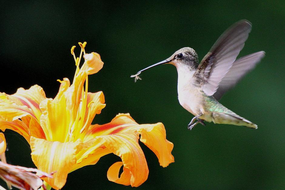 Ruby Throated Hummingbird Birdnote