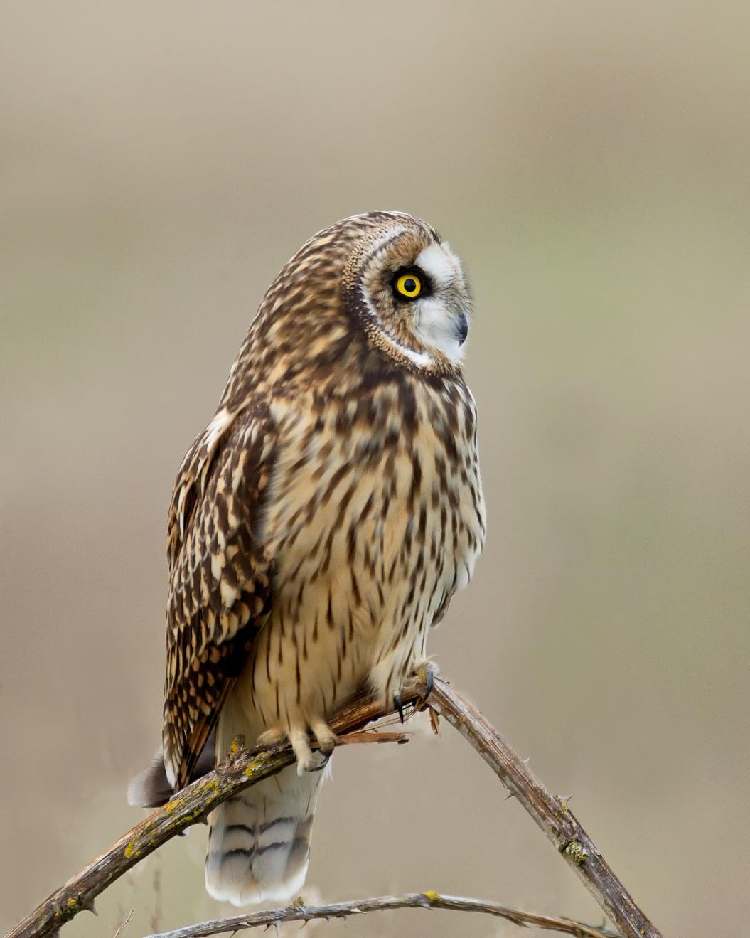 Short-eared Owl | BirdNote