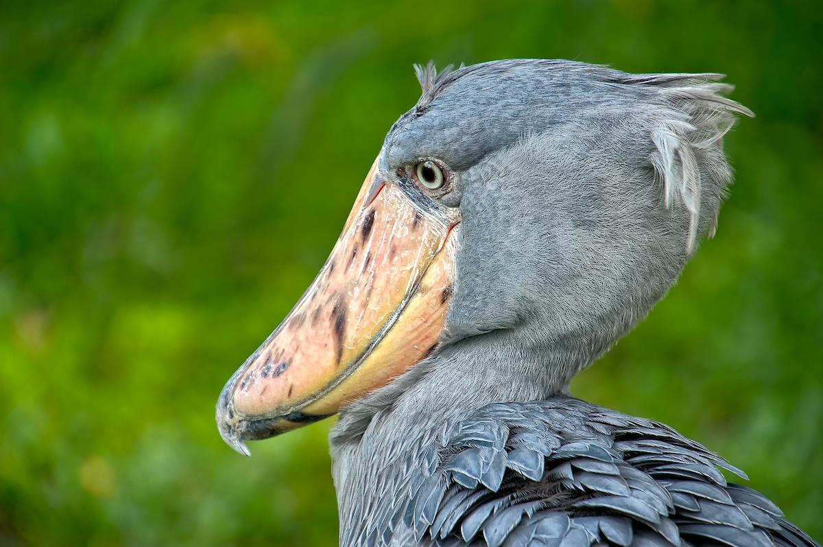 the stealthy shoebill birdnote