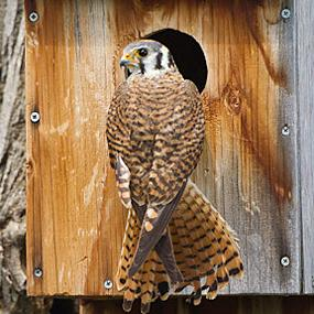 The American Kestrel Partnership | BirdNote