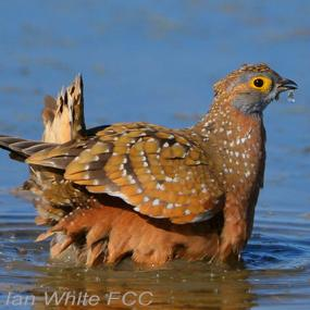 Sandgrouse Desert Water Carriers Birdnote