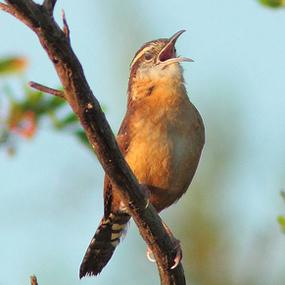 Voices and Vocabularies - How Birds Sing So Loudly | BirdNote