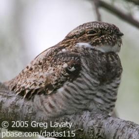 Common Nighthawk, Uncommon Sound | BirdNote