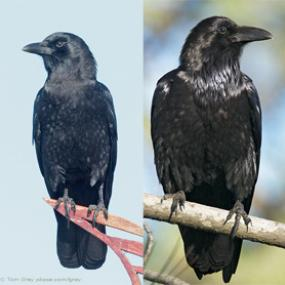Ravens And Crows Who S Birdnote