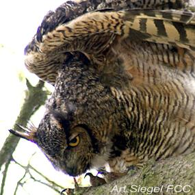 Examining Owl Pellets Birdnote