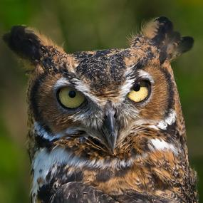Voices and Vocabularies - Great Horned Owls   BirdNote