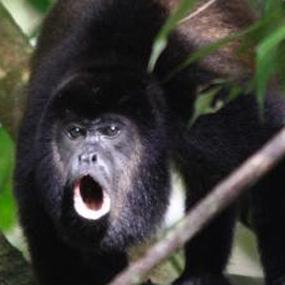 waking to howler monkeys with roger melendez birdnote