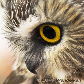 northern saw whet owl a bird with a lot to say birdnote