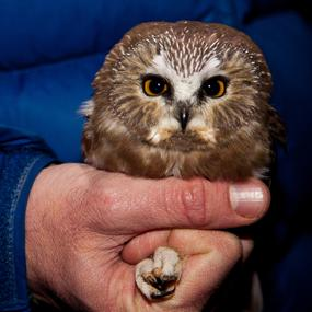 northern saw whet owls common but unknown birdnote