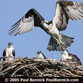 Osprey Return To Pennsylvania Interview With Larry Rymon Birdnote