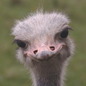 Consider The Ostrich Birdnote