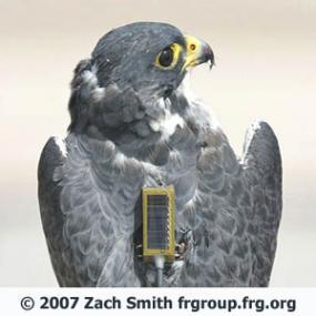 Tracking Peregrine Falcons | BirdNote