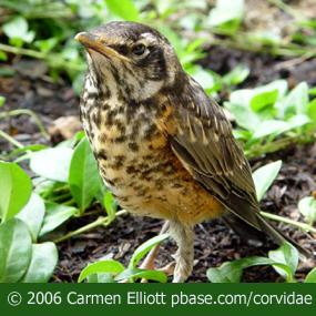 Baby Birds Move Out of the Nest   BirdNote