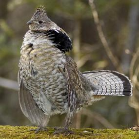 Ruffed Grouse And Aspen Groves Birdnote