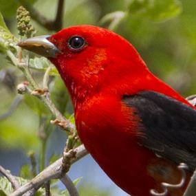 Big Red Storage >> Scarlet Tanagers Under the Canopy | BirdNote
