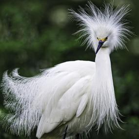 Great Egrets Lacy Courtship Birdnote >> Snowy Egret Killer Hats Birdnote