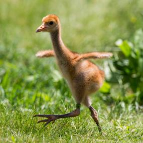 Wood Buffalo National Park - Birthplace of Whooping Cranes.Whooping Crane Chick.