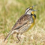 Restoring Prairies For Grassland Birds