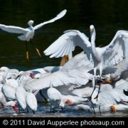 Great Egrets Lacy Courtship Birdnote >> Great Egret Ardea Alba Birdnote
