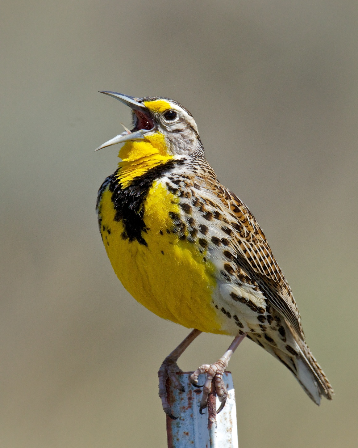 Singing with Meadowlarks