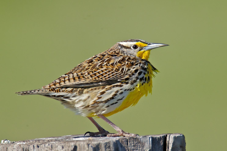 Marvelous Western Meadowlark