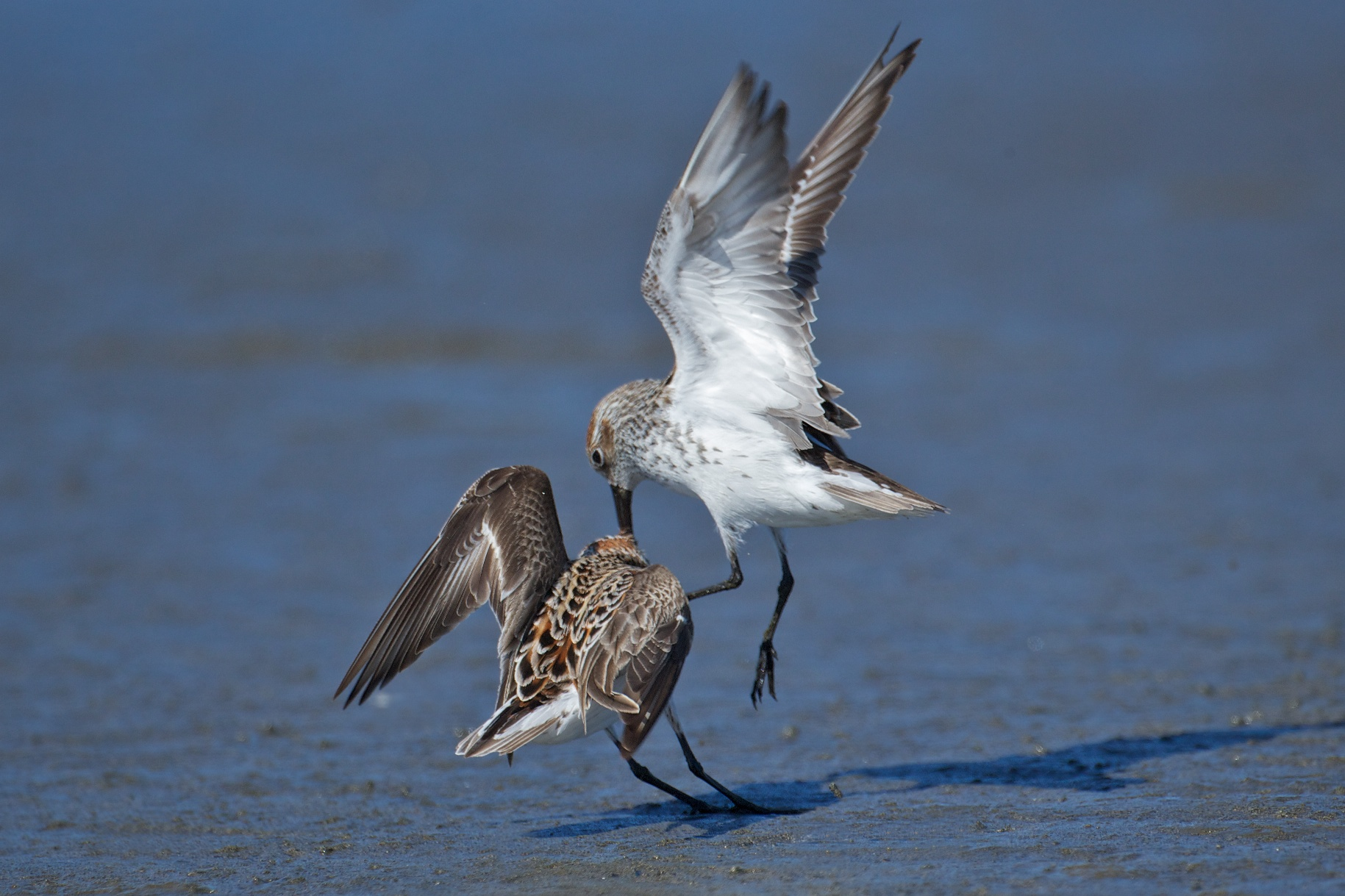 sandpipers fighting 10