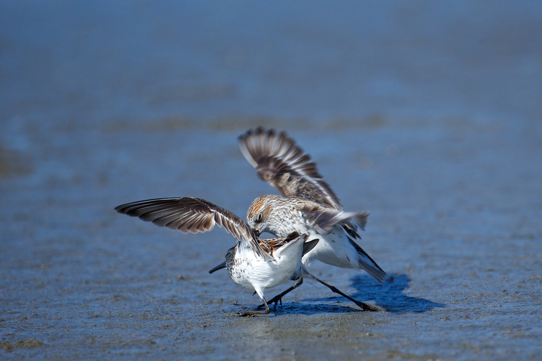sandpipers fighting 11