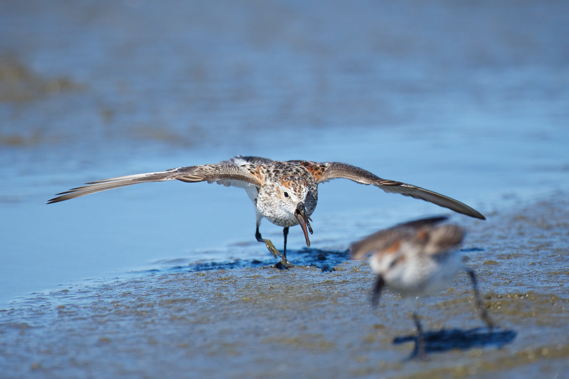 sandpipers fighting 2