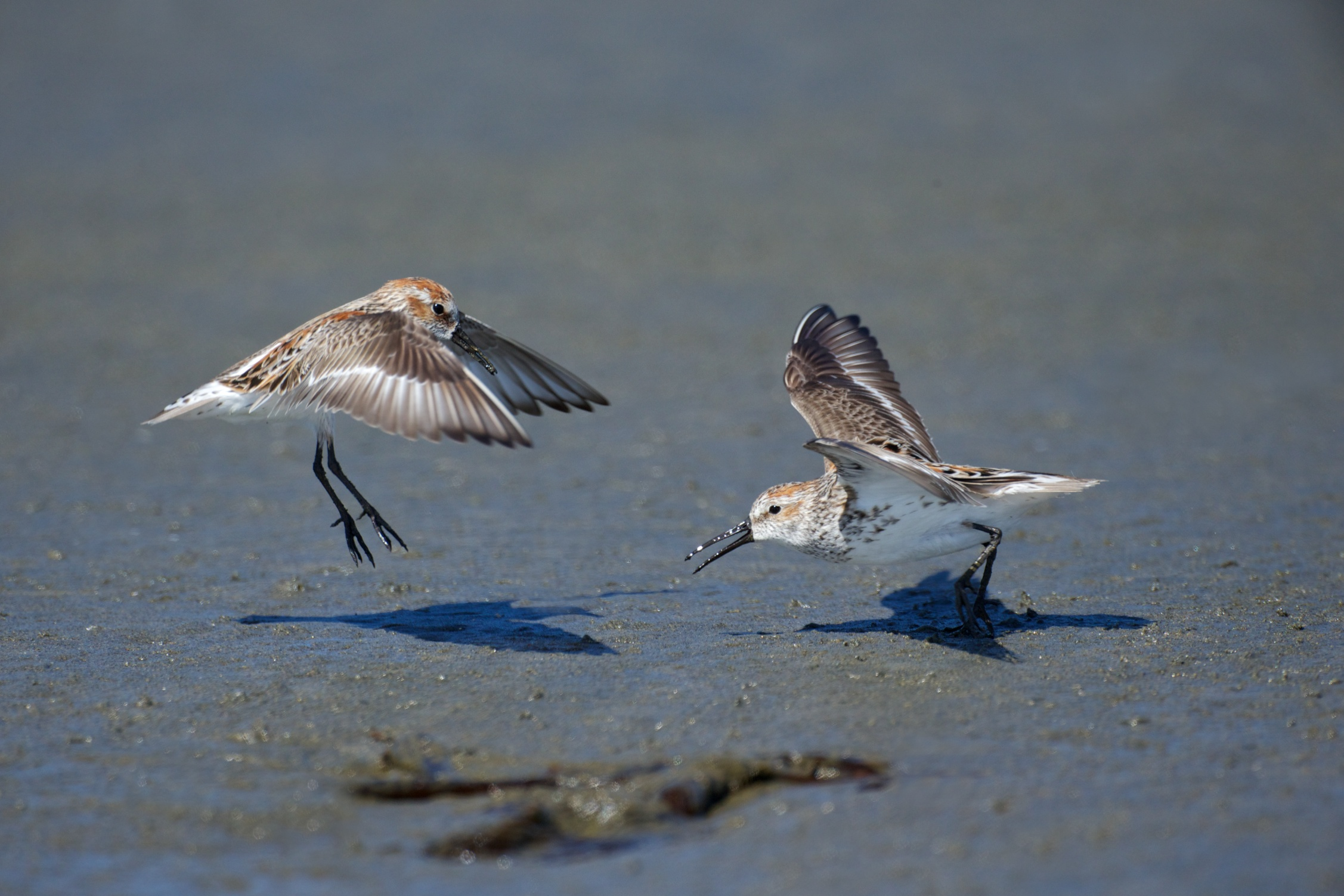 sandpipers fighting 4