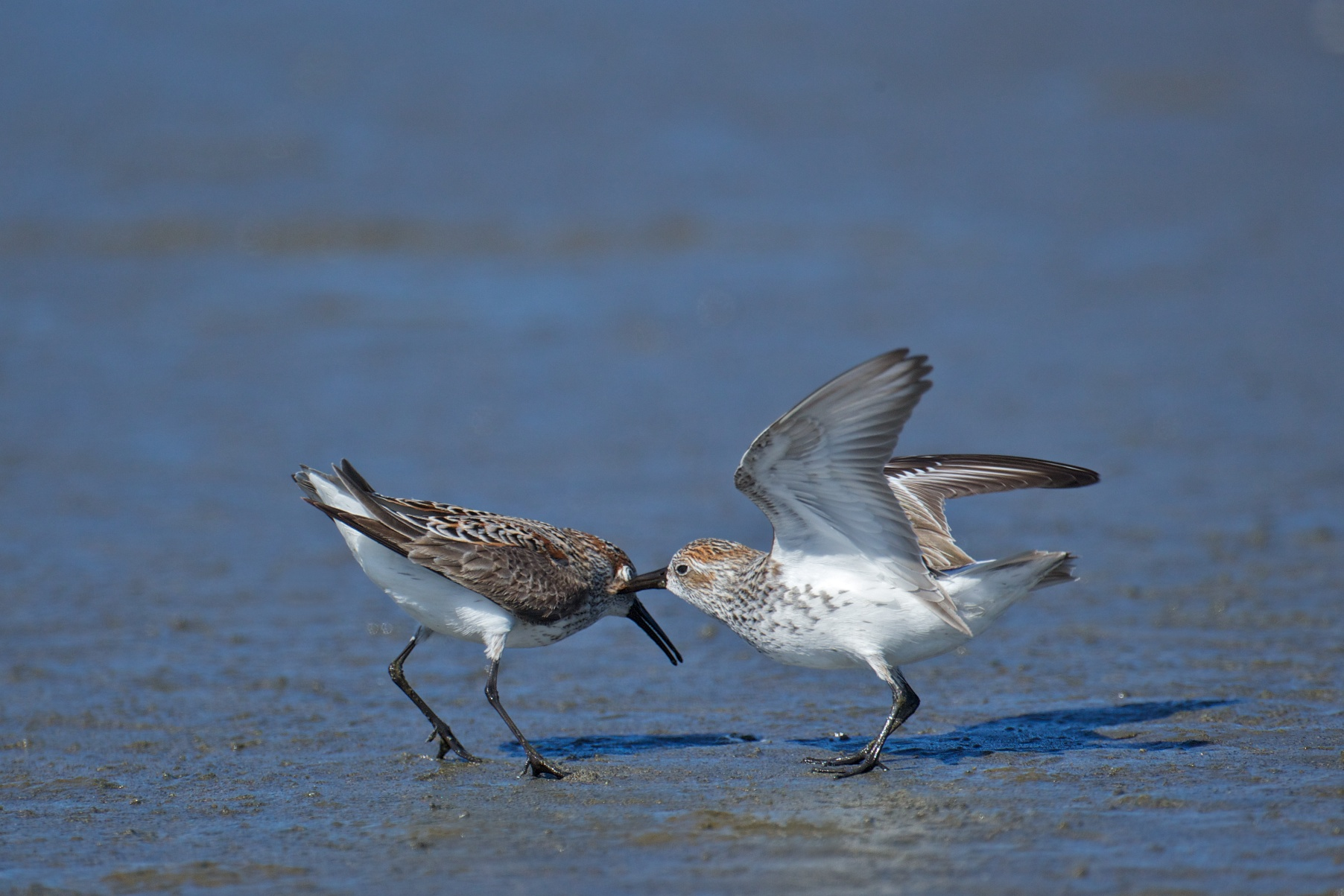 sandpipers fighting 5