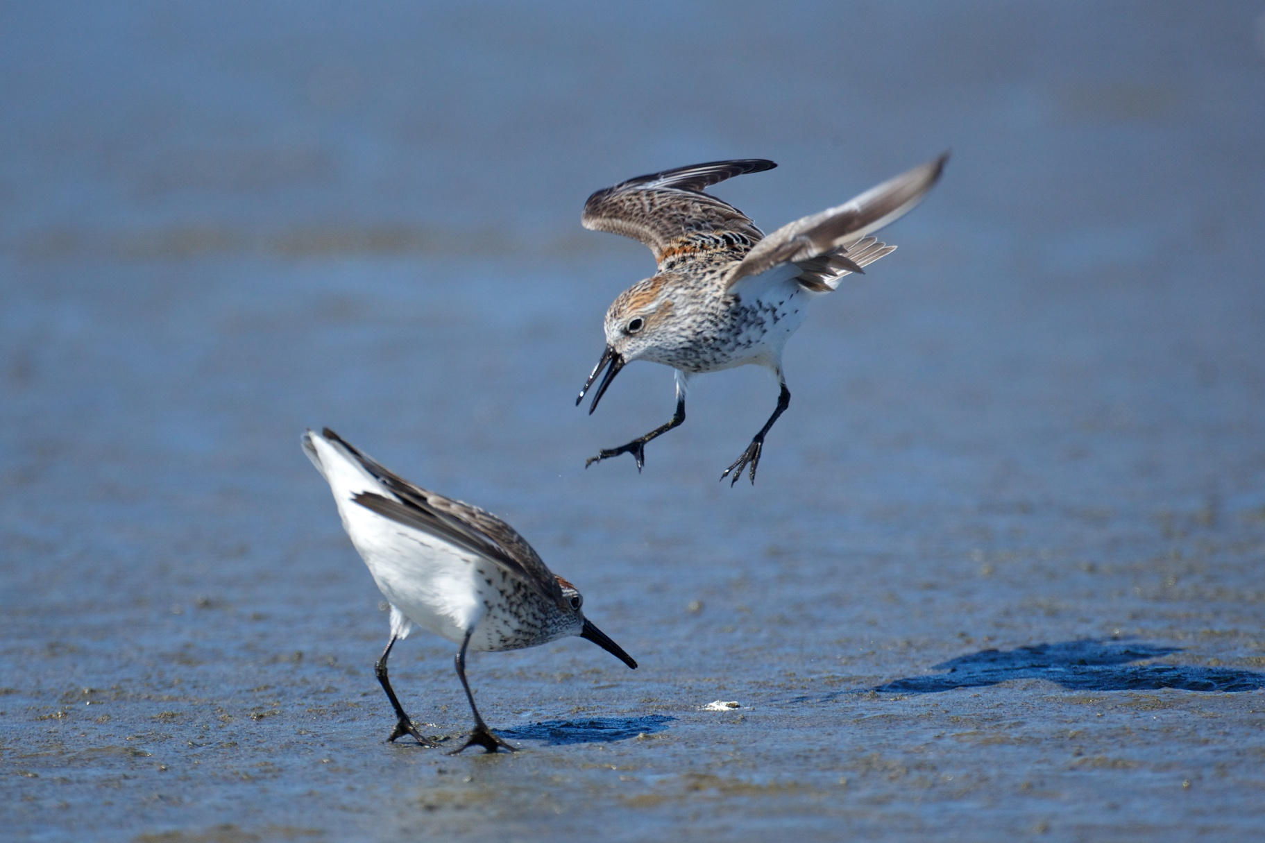 sandpipers fighting 6