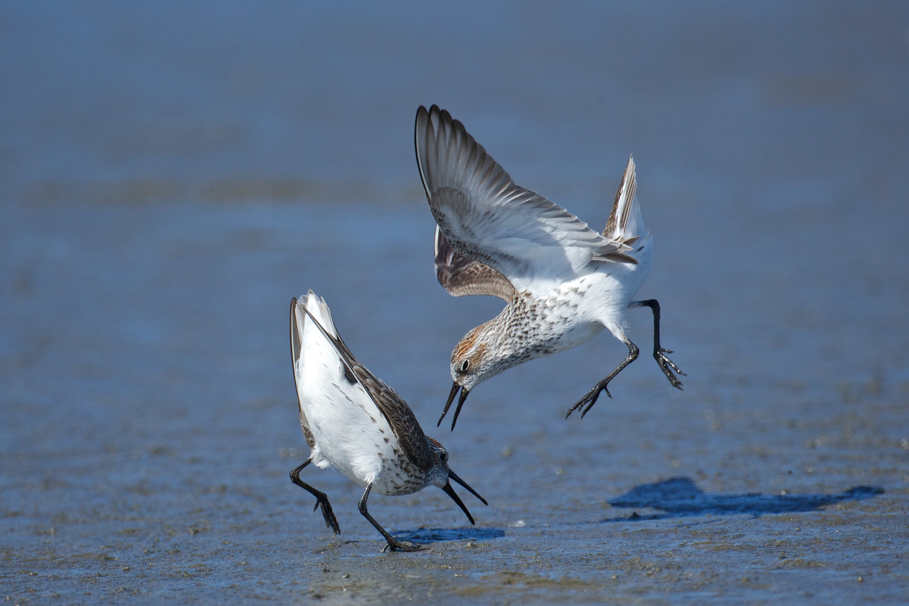 sandpipers fighting 7
