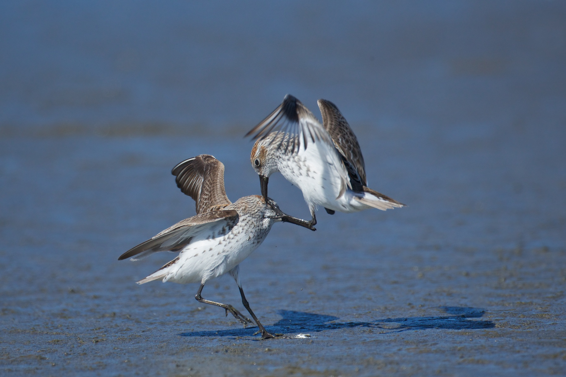 sandpipers fighting 8