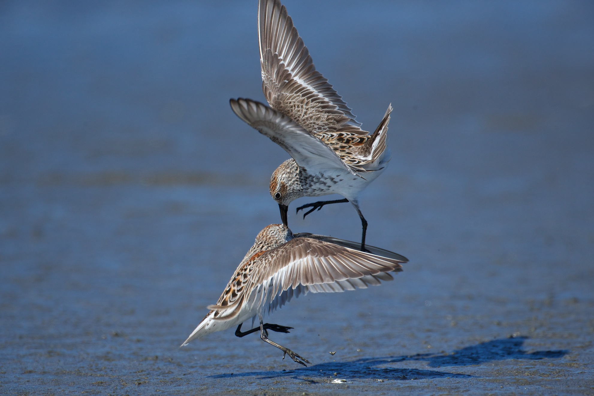 sandpipers fighting 9
