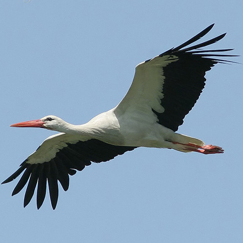 storks and babies birdnote