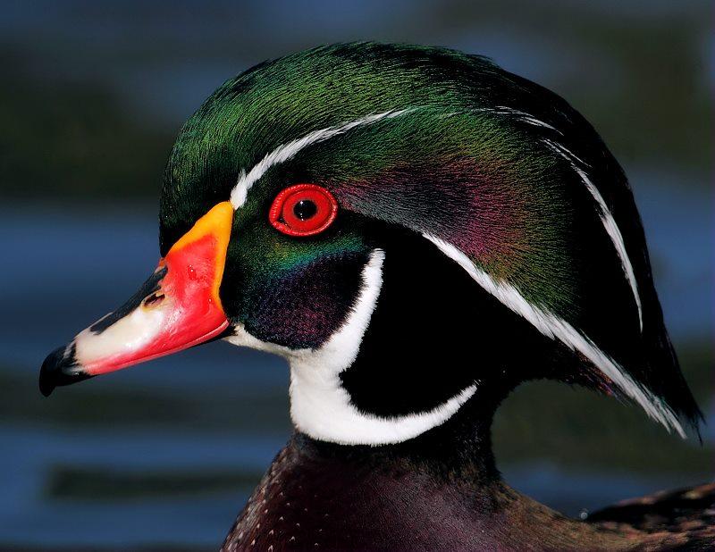 Wood Duck Drake Birdnote